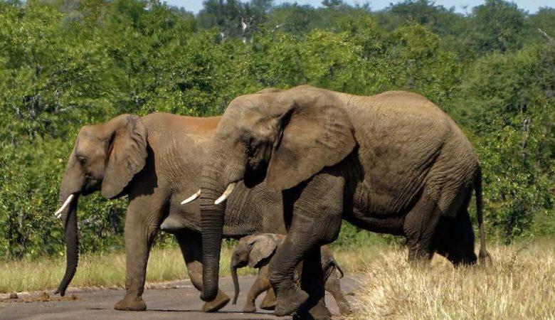 les éléphants d'Afrique en Safari Afrique du Sud